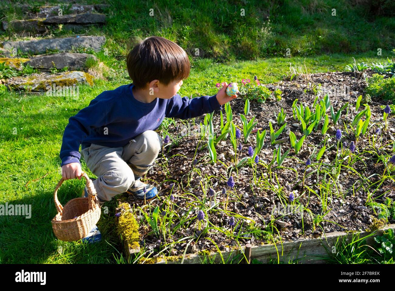 Boy holding basket reaching for chocolate egg in flower garden at home on egg hunt Easter weekend during covid19 pandemic Wales UK  KATHY DEWITT Stock Photo