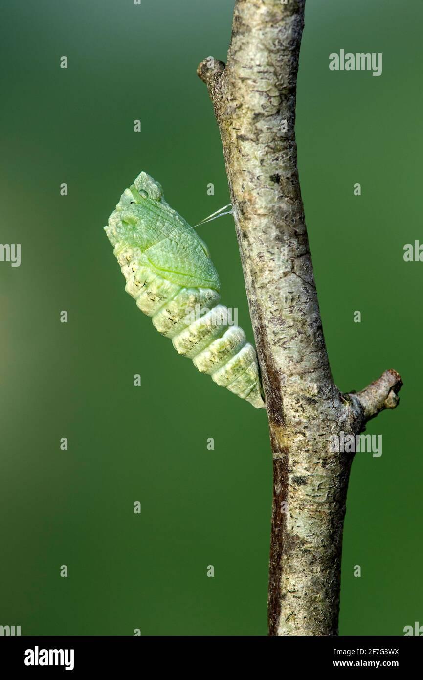 Freshly pupated Old World Swallowtail butterfly (Papilio machaon), Switzerland Stock Photo