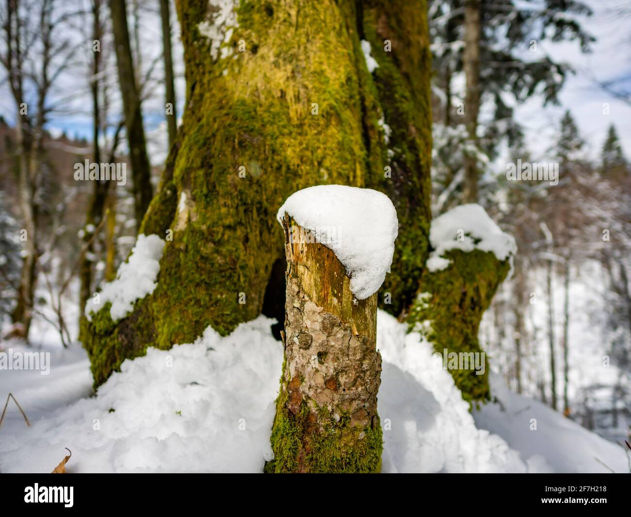 Late Winter in forest detail patch of snow on low cut tree trunk Stock Photo