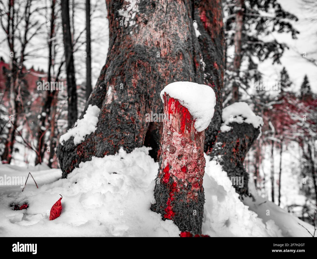 Late Winter in forest detail patch of snow on low cut tree trunk arty artistic B&W mix Red altered color Stock Photo