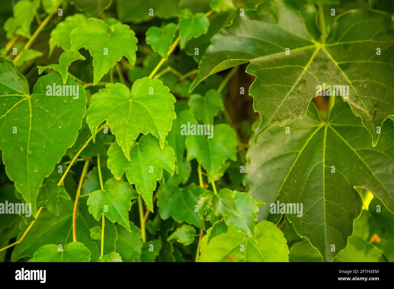 Many leafs of ivy cover wall, natural background Stock Photo