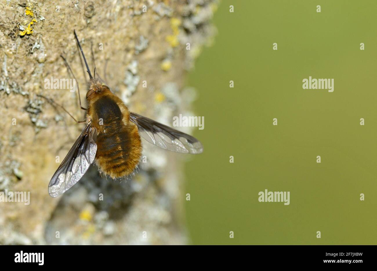 Bee Fly (Greater / Dark-edged / Large Bee Fly: Bombylius major) female. Kent, UK, early April Stock Photo