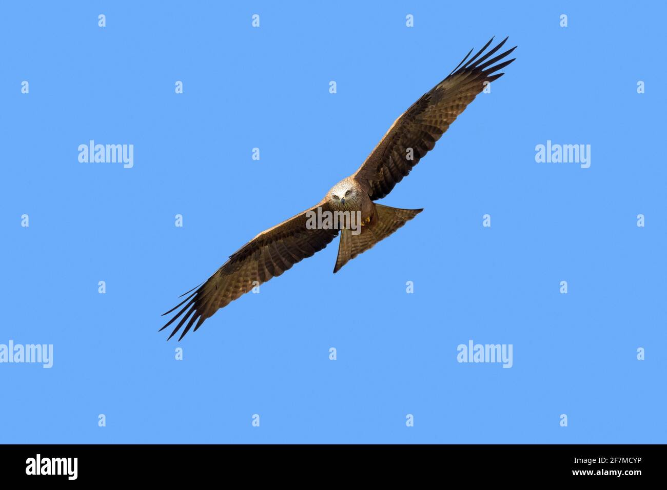 Black kite (Milvus migrans) in flight soaring against blue sky Stock Photo