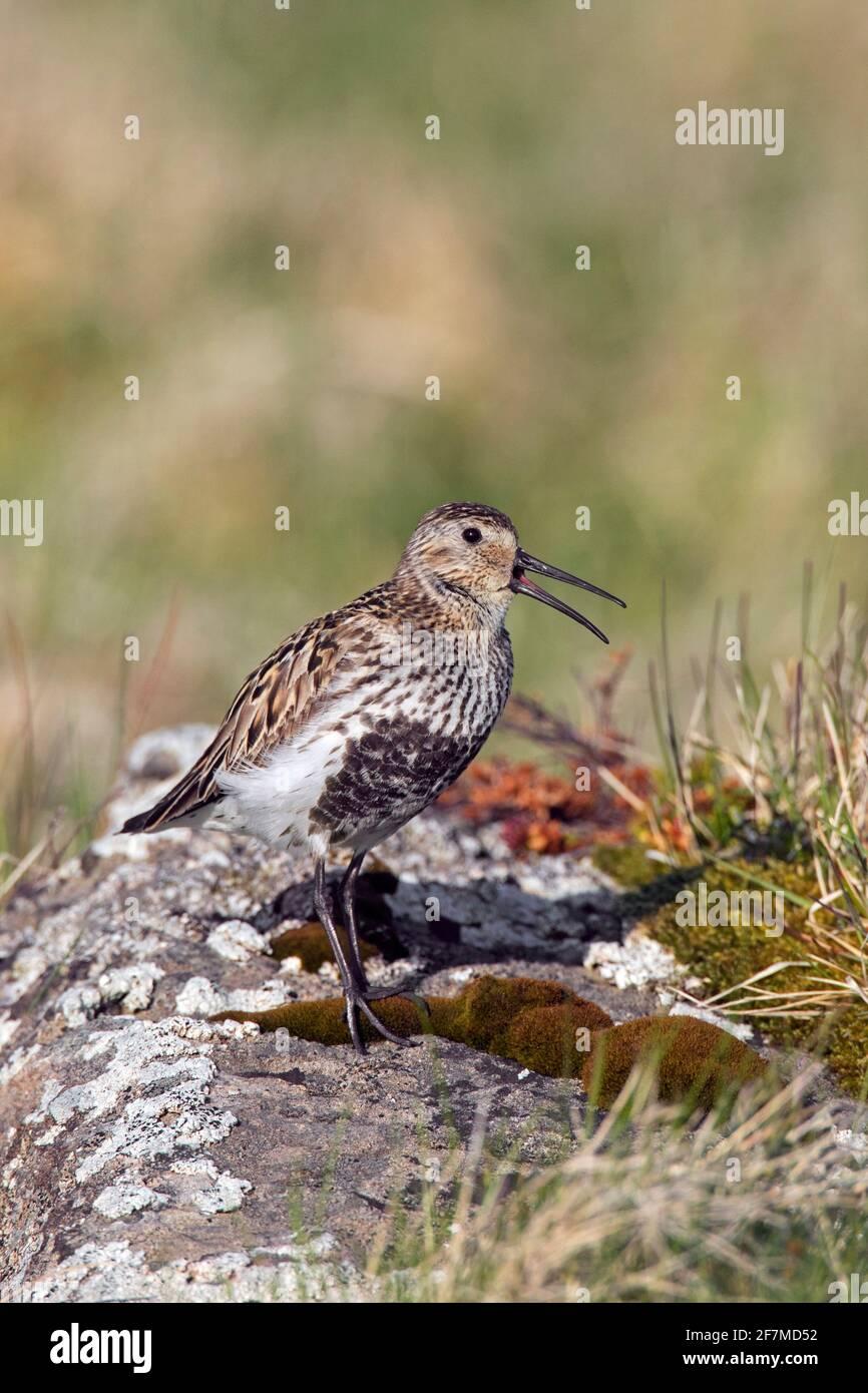 Dunlin (Calidris alpina schinzii) in breeding plumage calling from rock in grassland in summer, Iceland Stock Photo