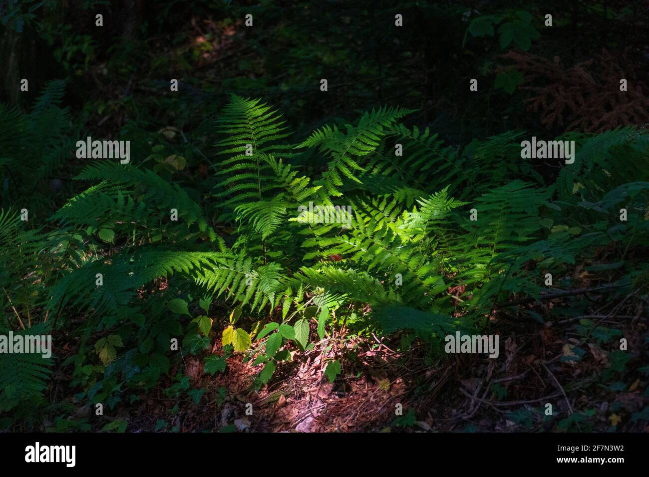 Farn auf dem Waldboden im Sonnenlicht Stock Photo
