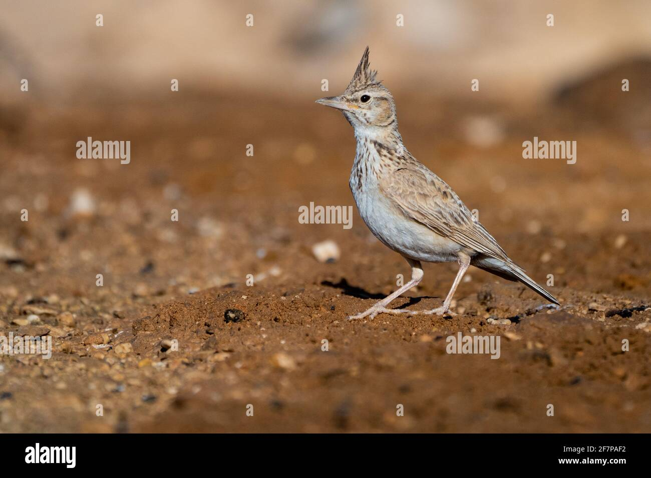 Crested Lark (Galerida cristata) near water,  Crested larks breed across most of temperate Eurasia from Portugal to north-east China and eastern India Stock Photo