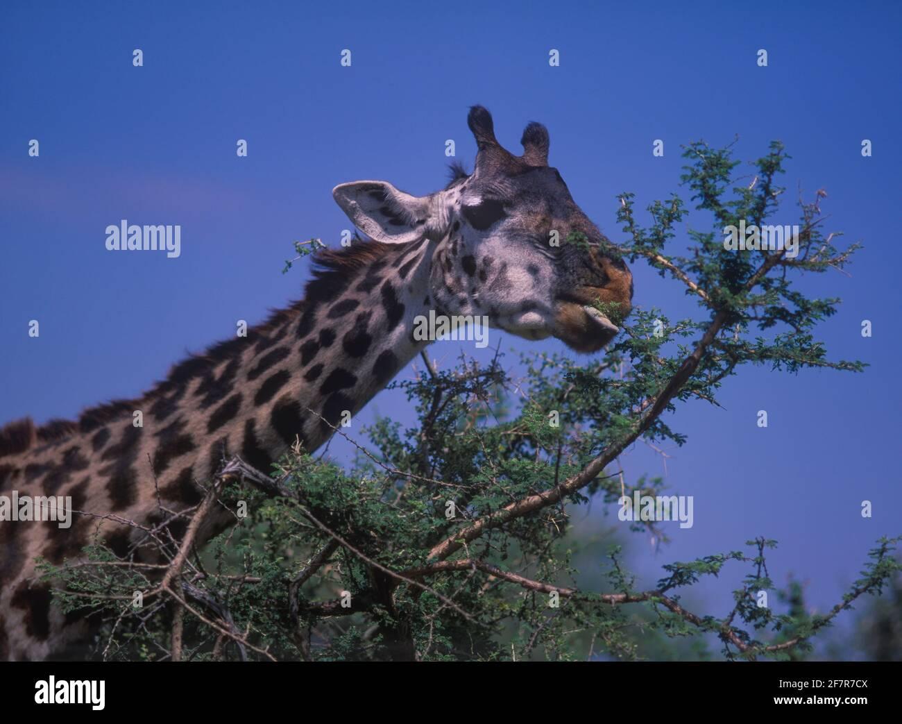 Masai giraffe, Giraffa camelopardalis tippelskirchi. Eating acacia tree leaves. Note purplish-black prehensile tongue; that is useful for grasping Stock Photo
