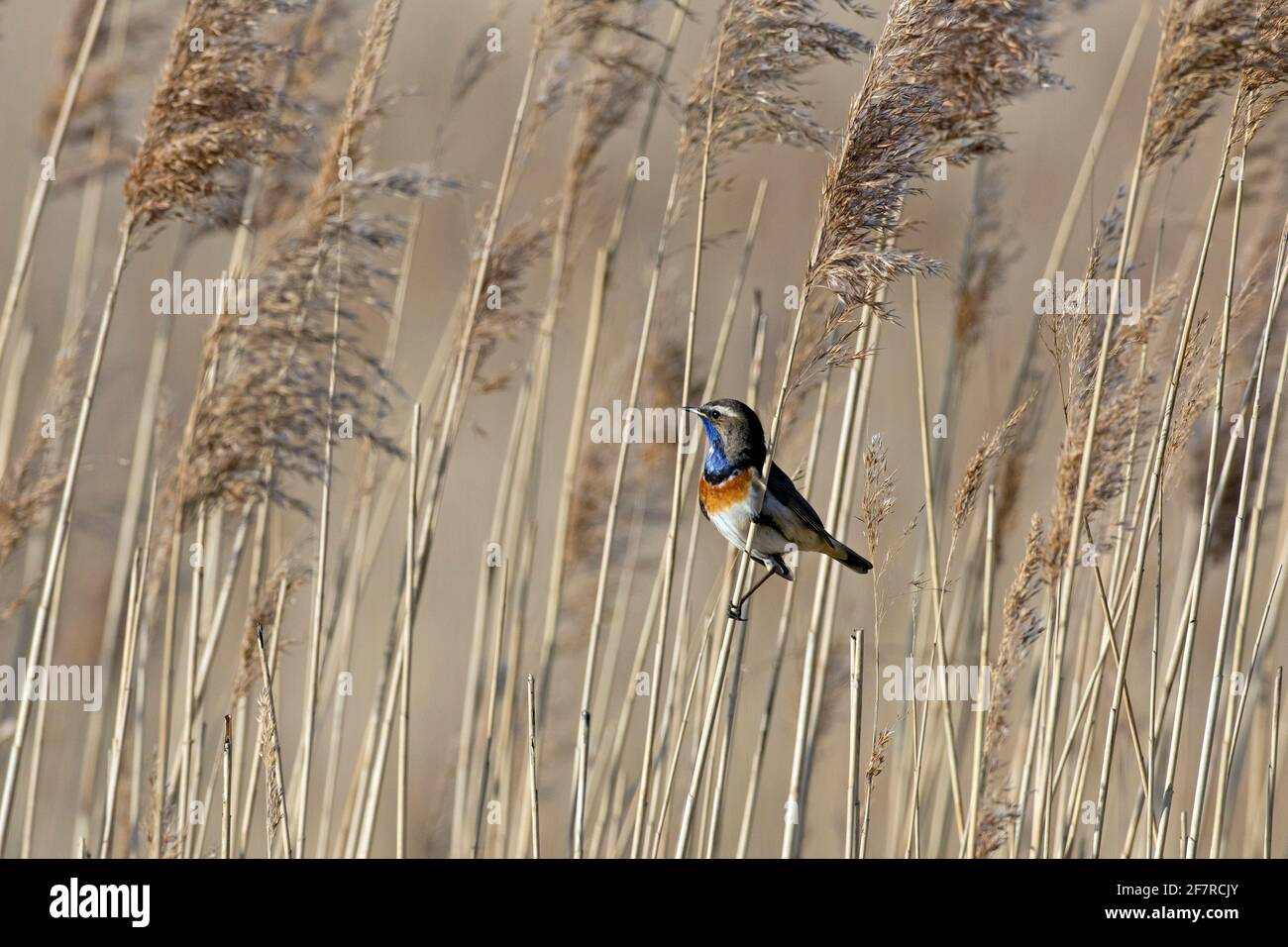 White-spotted bluethroat (Luscinia svecica cyanecula) male perched on reed stem and calling in wetland in spring Stock Photo