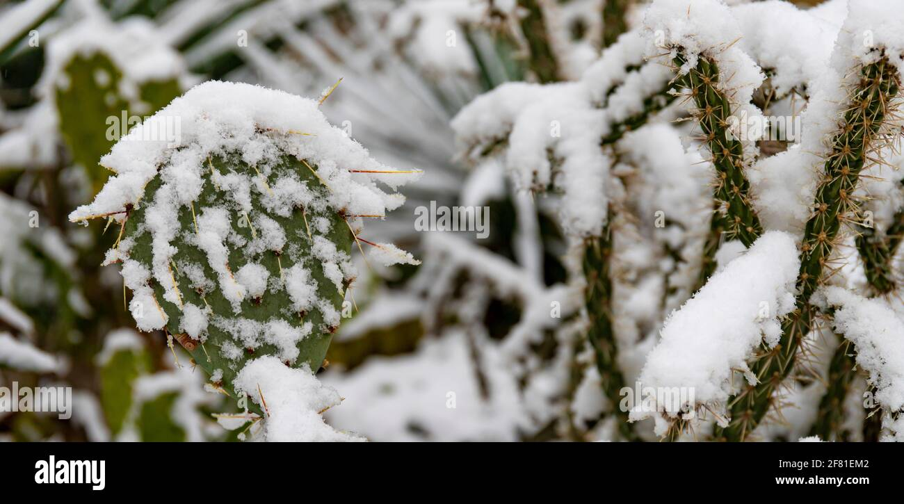 View of a Snow-covered, frost-resistant Cylindropuntia cactus, and Opuntia cactus with large, pointed spines in winter Stock Photo
