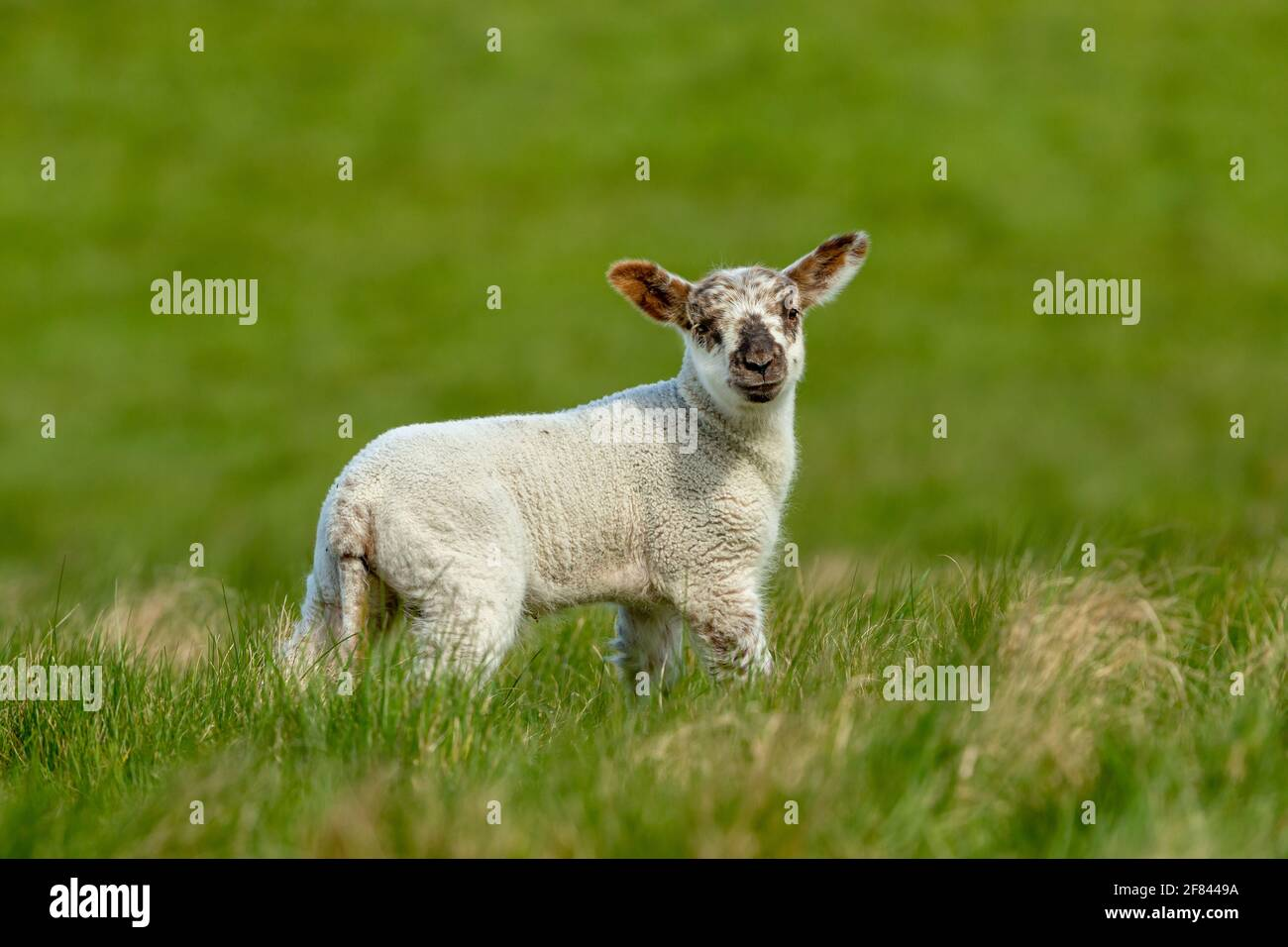 Lamb in Springtime. Happy, smiling lamb stood in lush green meadow and facing forward. Yorkshire, UK. Clean, green background. Landscape, Copyspace Stock Photo