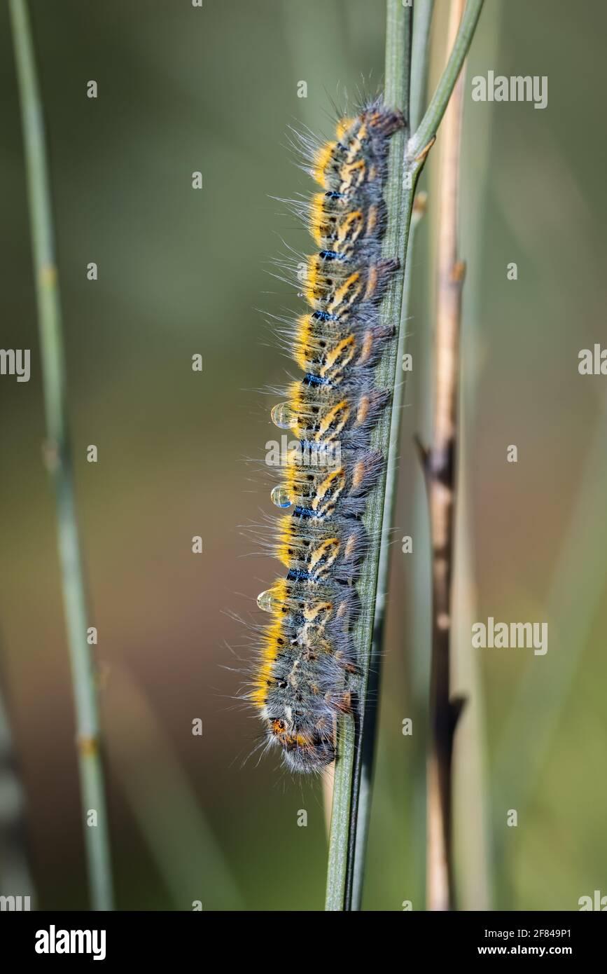 Caterpillar in its natural environment. Stock Photo