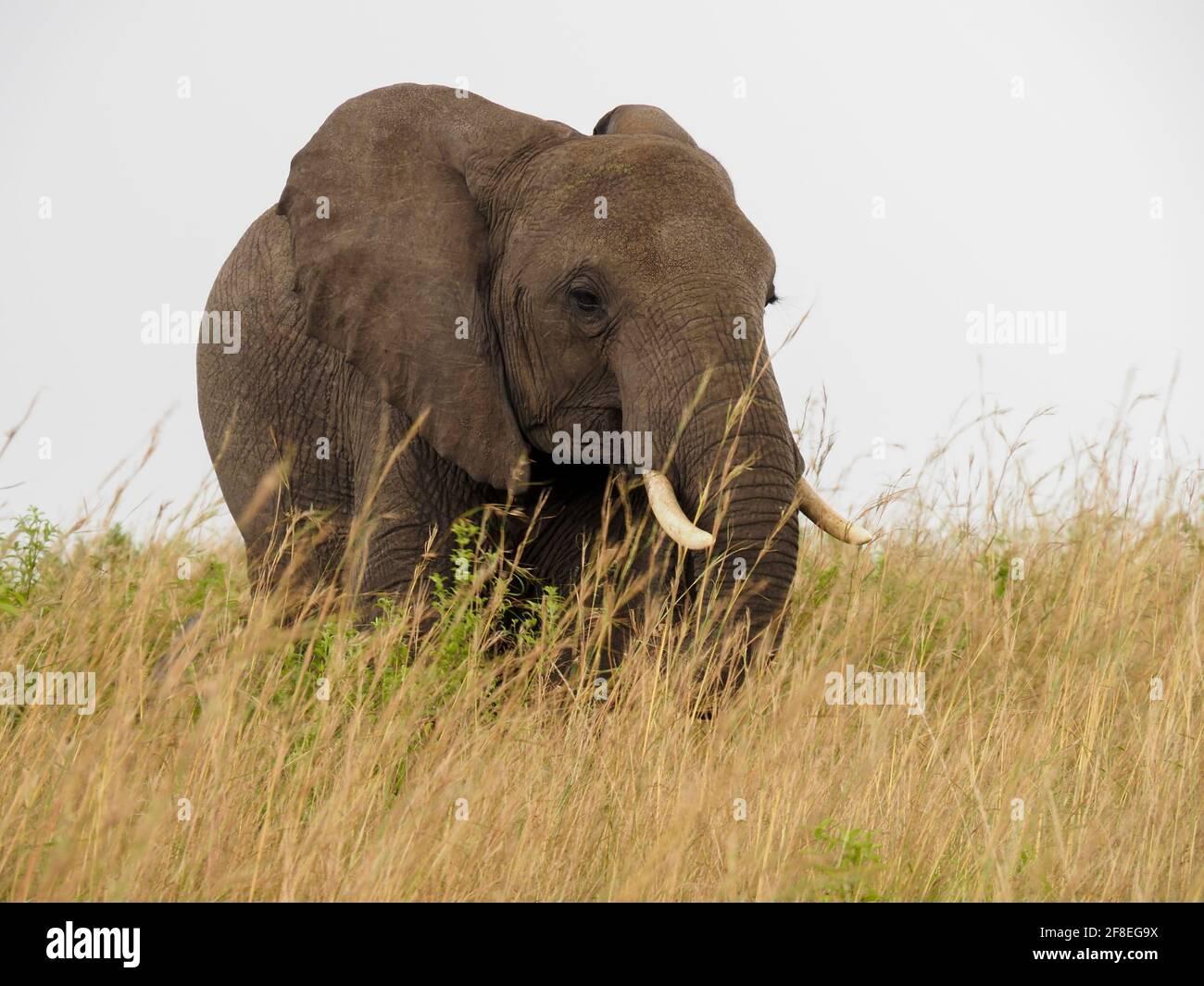 Masaai Mara, Kenya, Africa - February 26, 2020: African elephants in tall grass on Safari, Masaai Mara Game Reserve Stock Photo