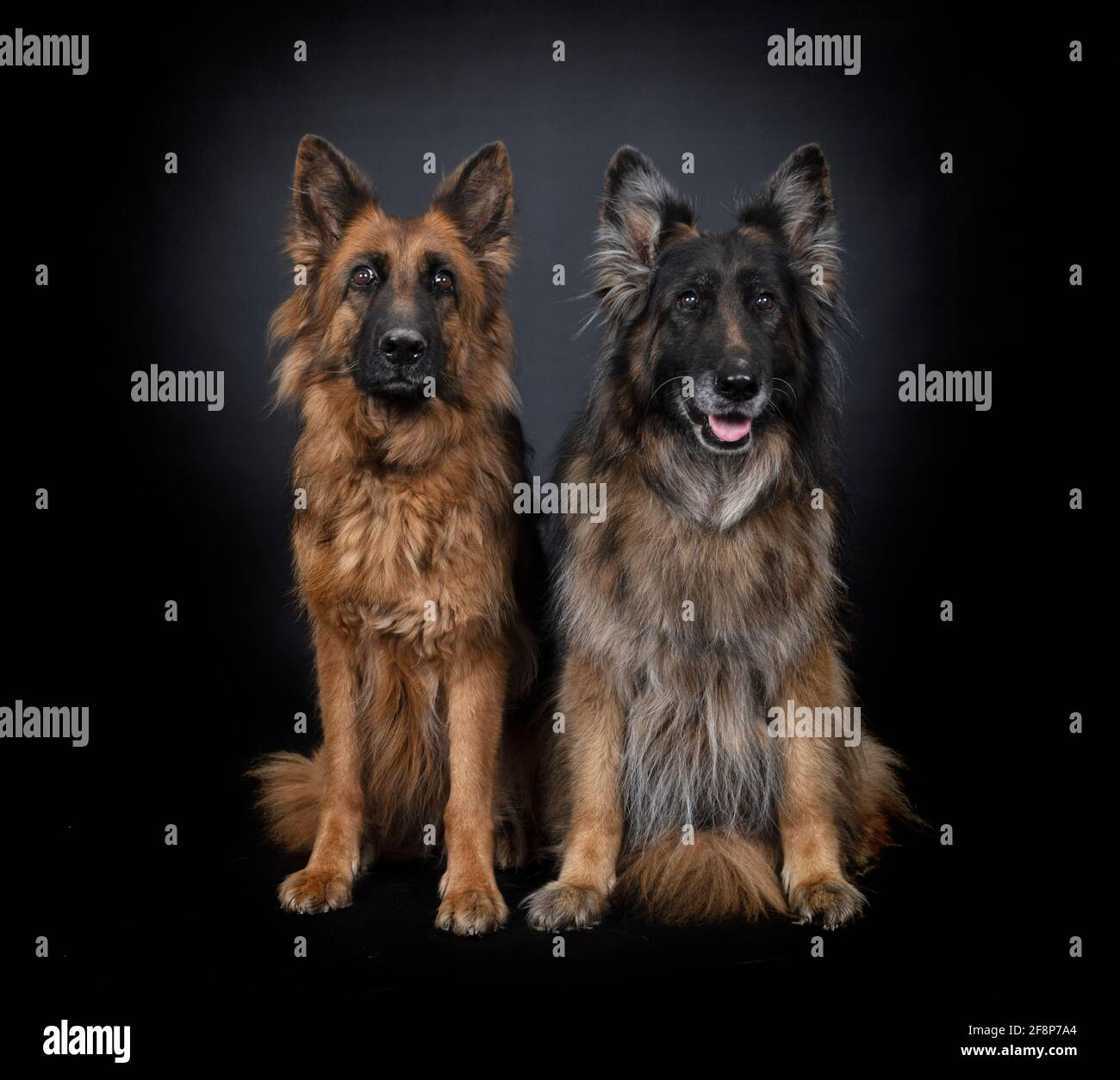 german shepherds in front of black  background Stock Photo