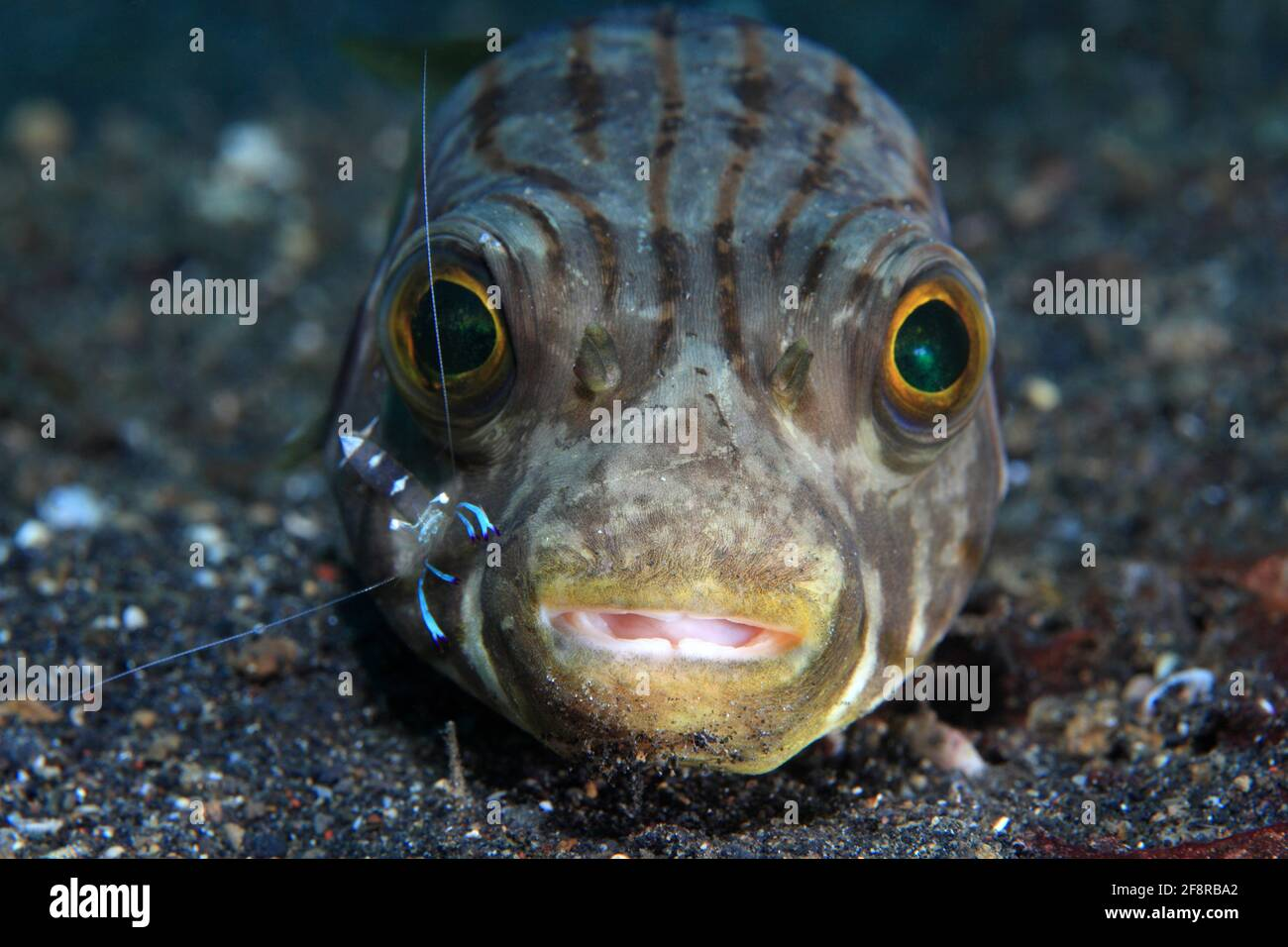 Manila-Kugelfisch, Narrow-lined puffer, Lembeh, Sulawesi, Indonesia Stock Photo