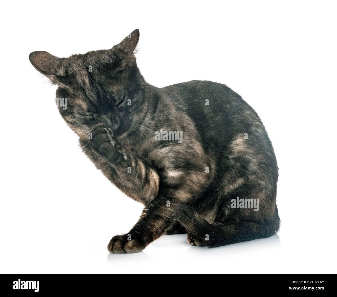 bengal cat in front of white background Stock Photo