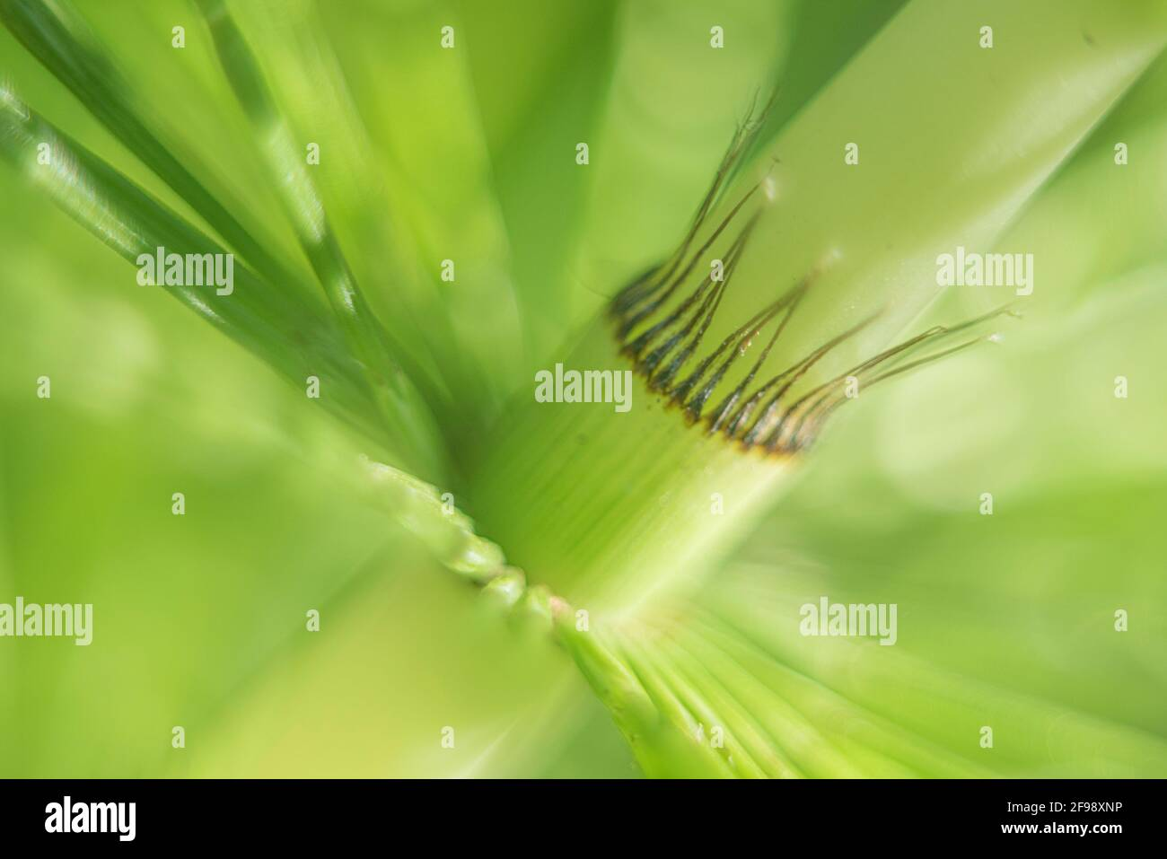 Field horsetail, photographed with a macro vintage lens Stock Photo