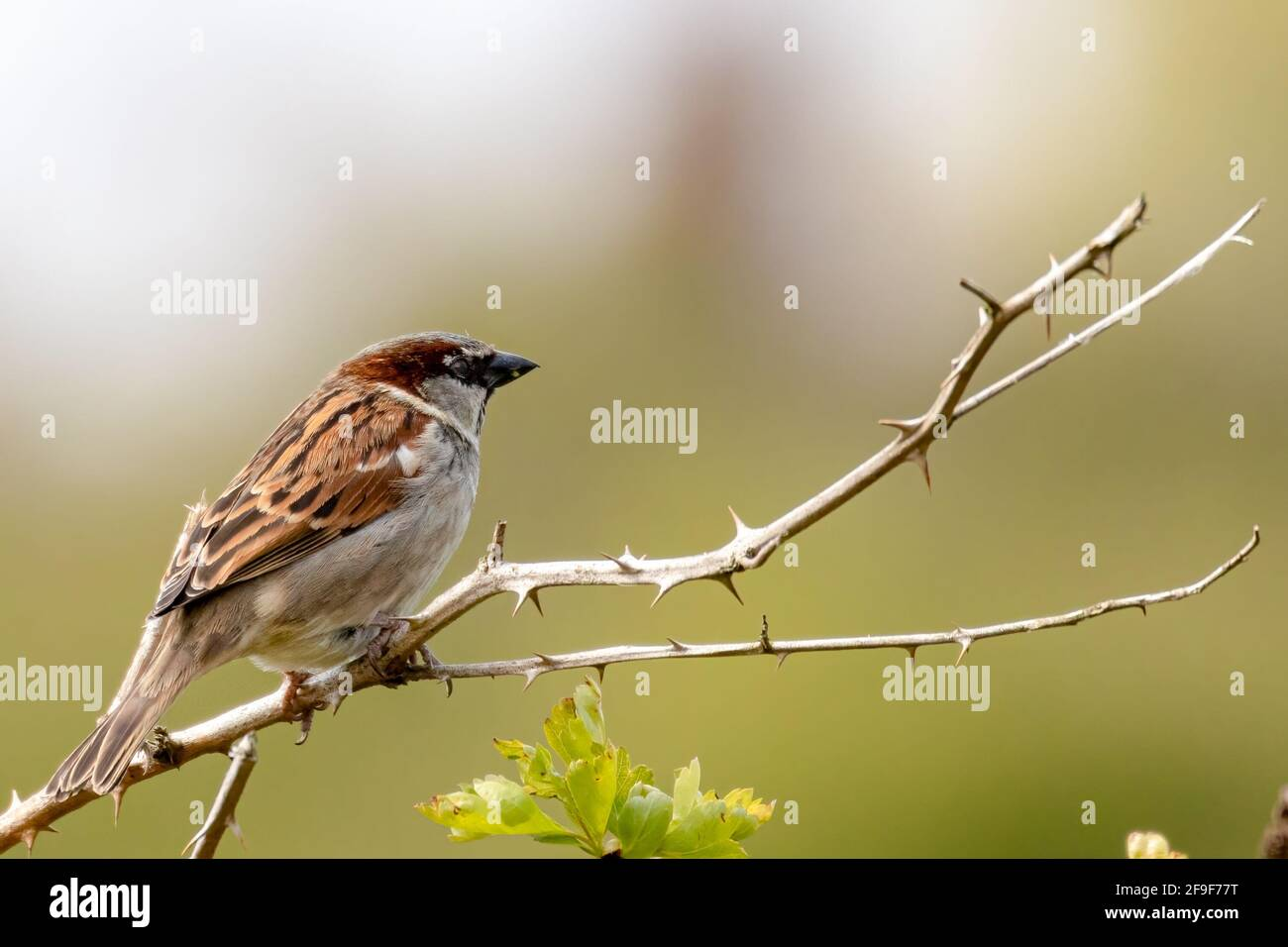 Male house sparrow sitting on a branch in the sun looking into negative space for a caption, if required Stock Photo