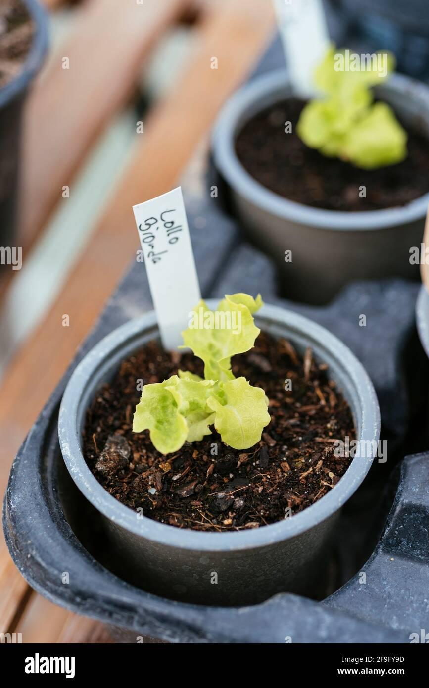 Green coral lettuce 'Lollo Bionda' (Lactuca sativa var. crispa) seedlings Stock Photo