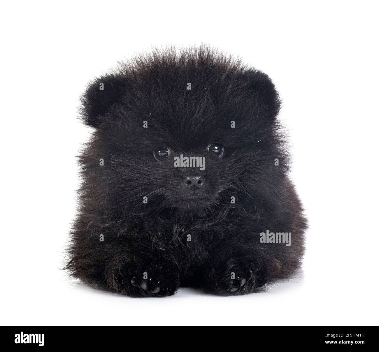 young pomeranian in front of white background Stock Photo