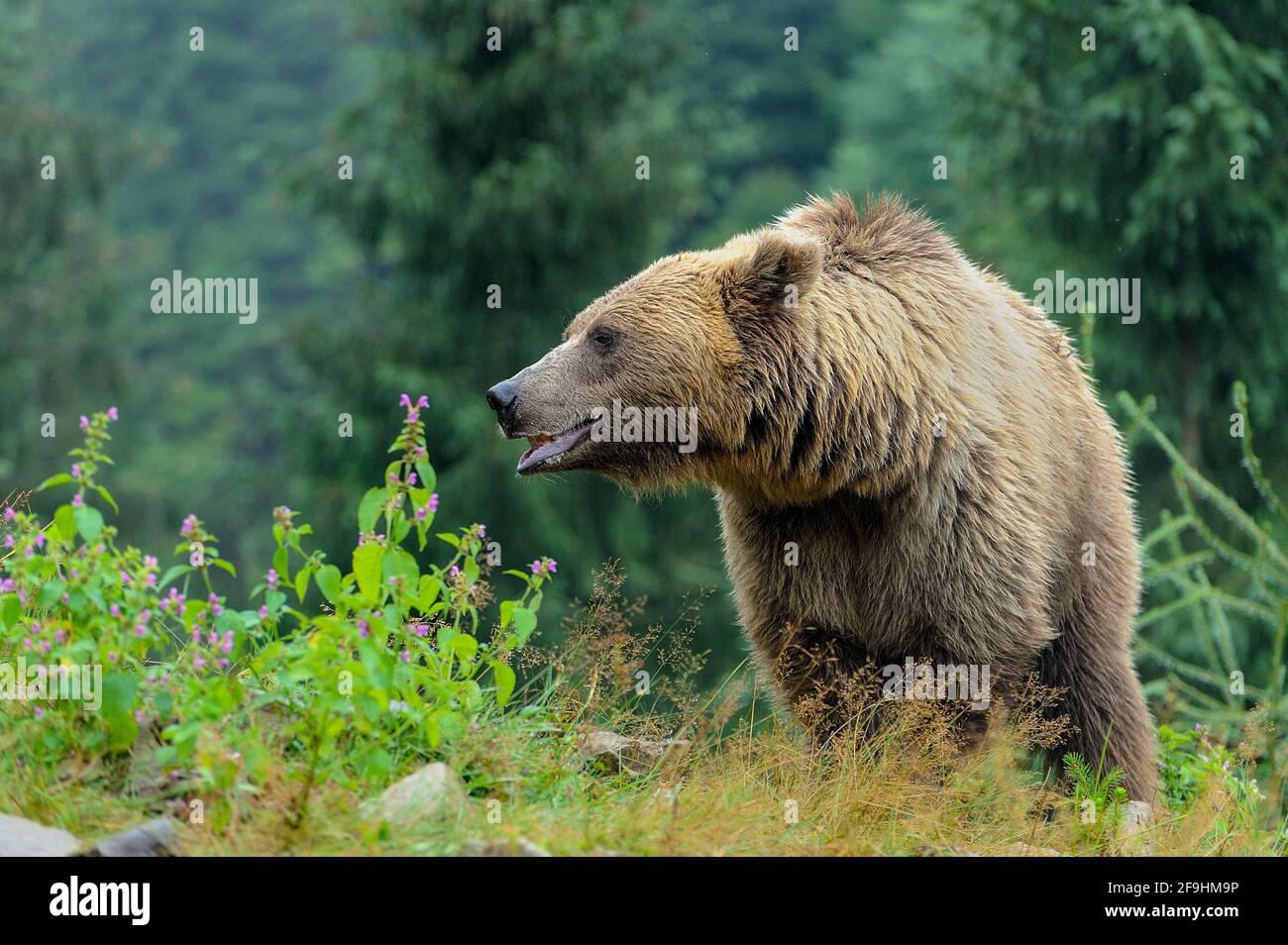 Wild  Brown Bear (Ursus Arctos) in the forest. Wild animal . Stock Photo