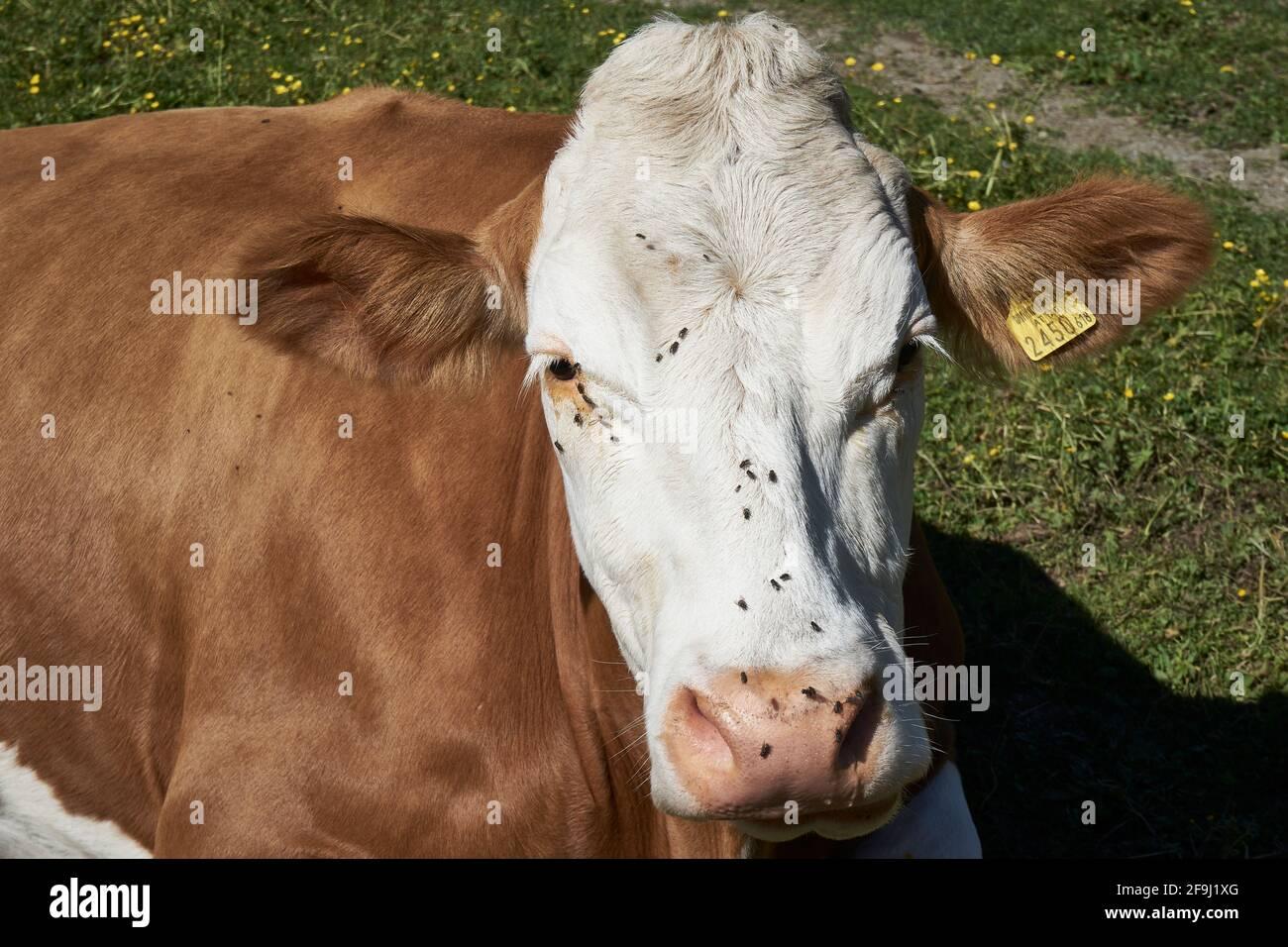 Kuh auf der Lackenalm, Lesachtal, Gailtaler Alpen, hinten die Karnischen Alpen, Kärnten, Alpen, Österreich Stock Photo