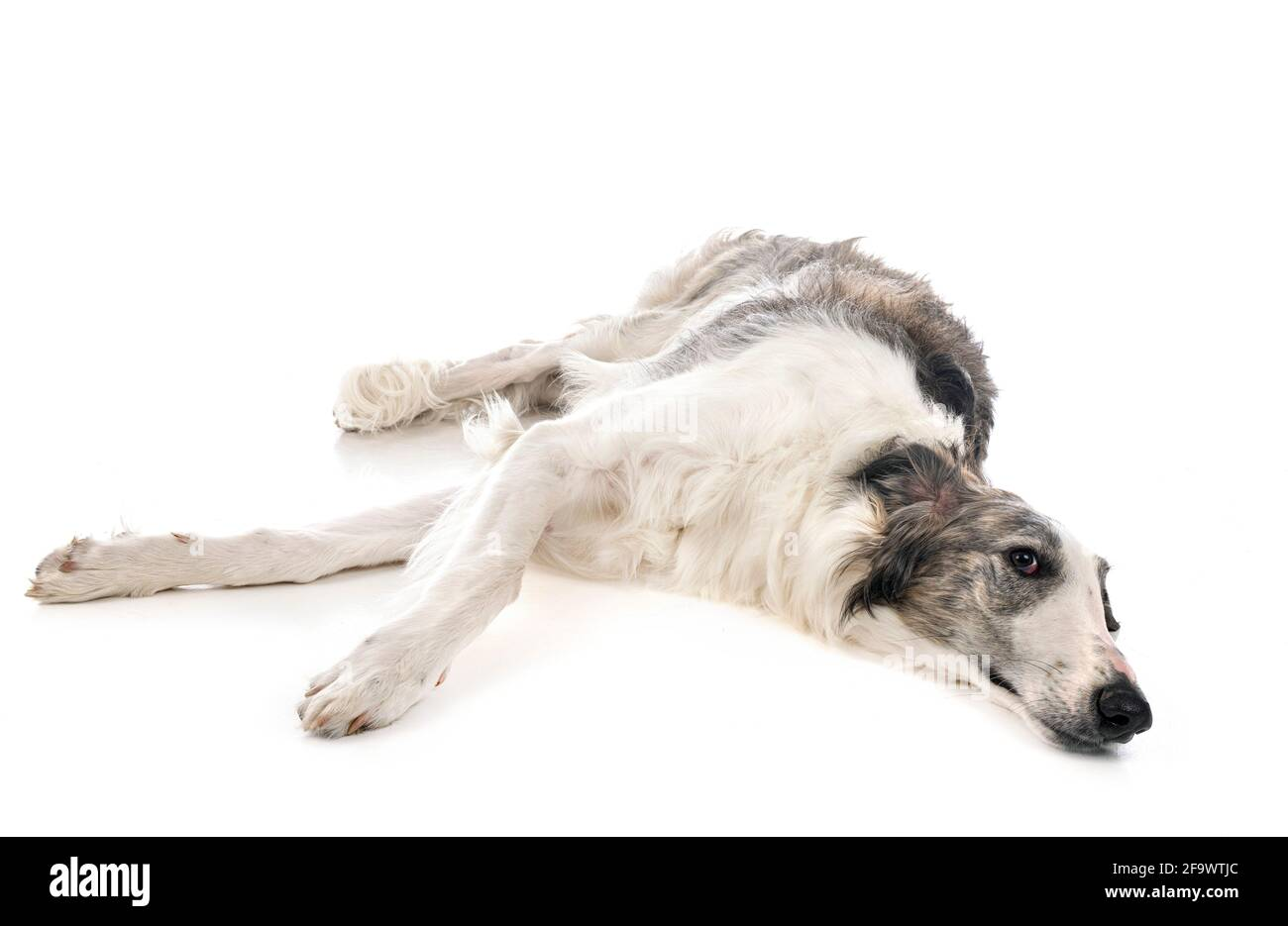 young borzoi in front of white background Stock Photo