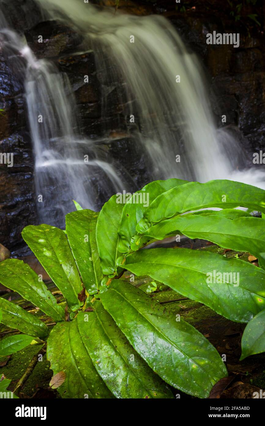 Beautiful plant with large leaves by a small waterfall in the Nargana wilderness at Garduk, Comarca Guna Yala, Republic of Panama. Stock Photo