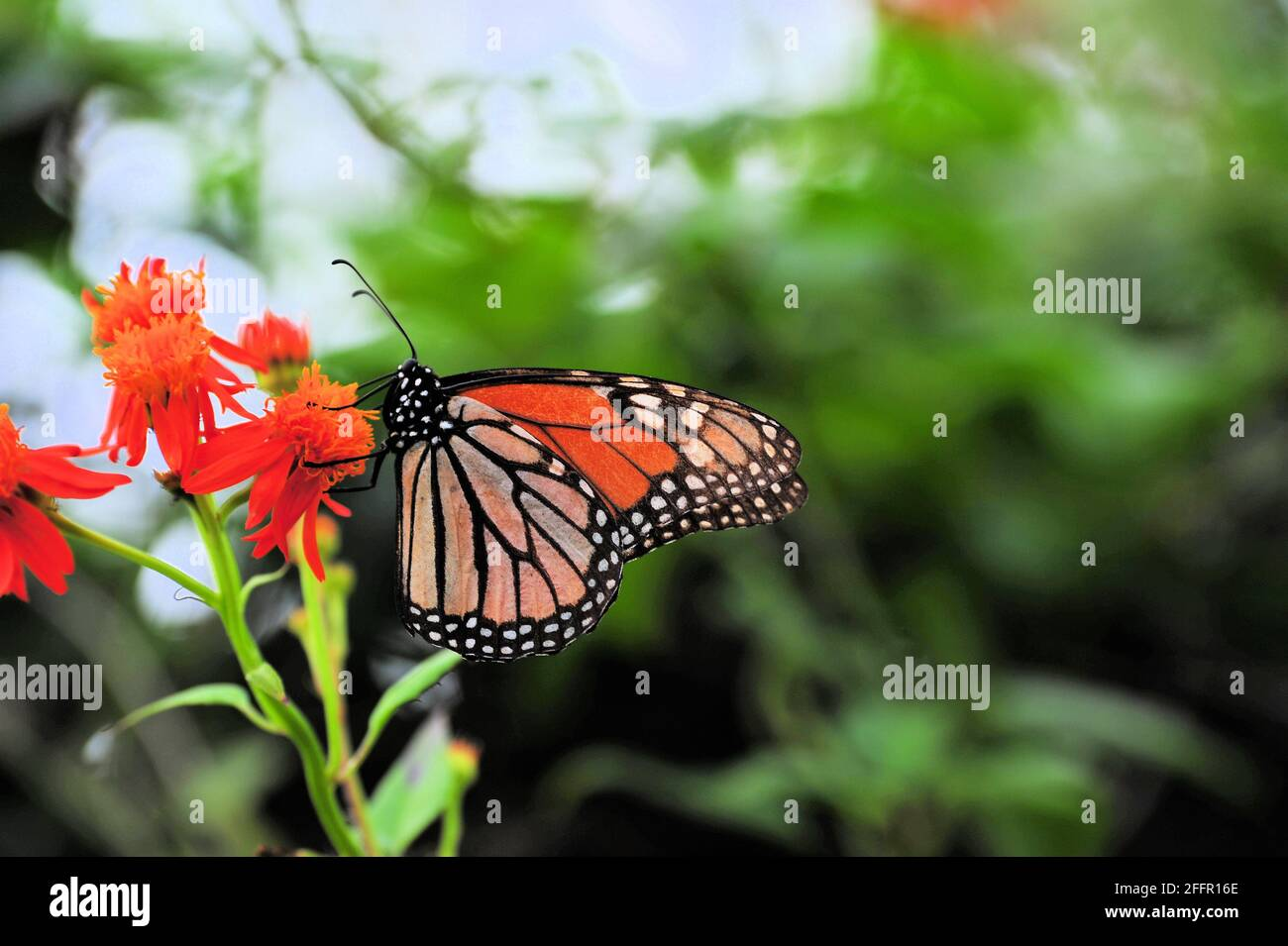 An endangered Monarch butterfly sitting on an orange flower to fuel up before it goes North. Stock Photo