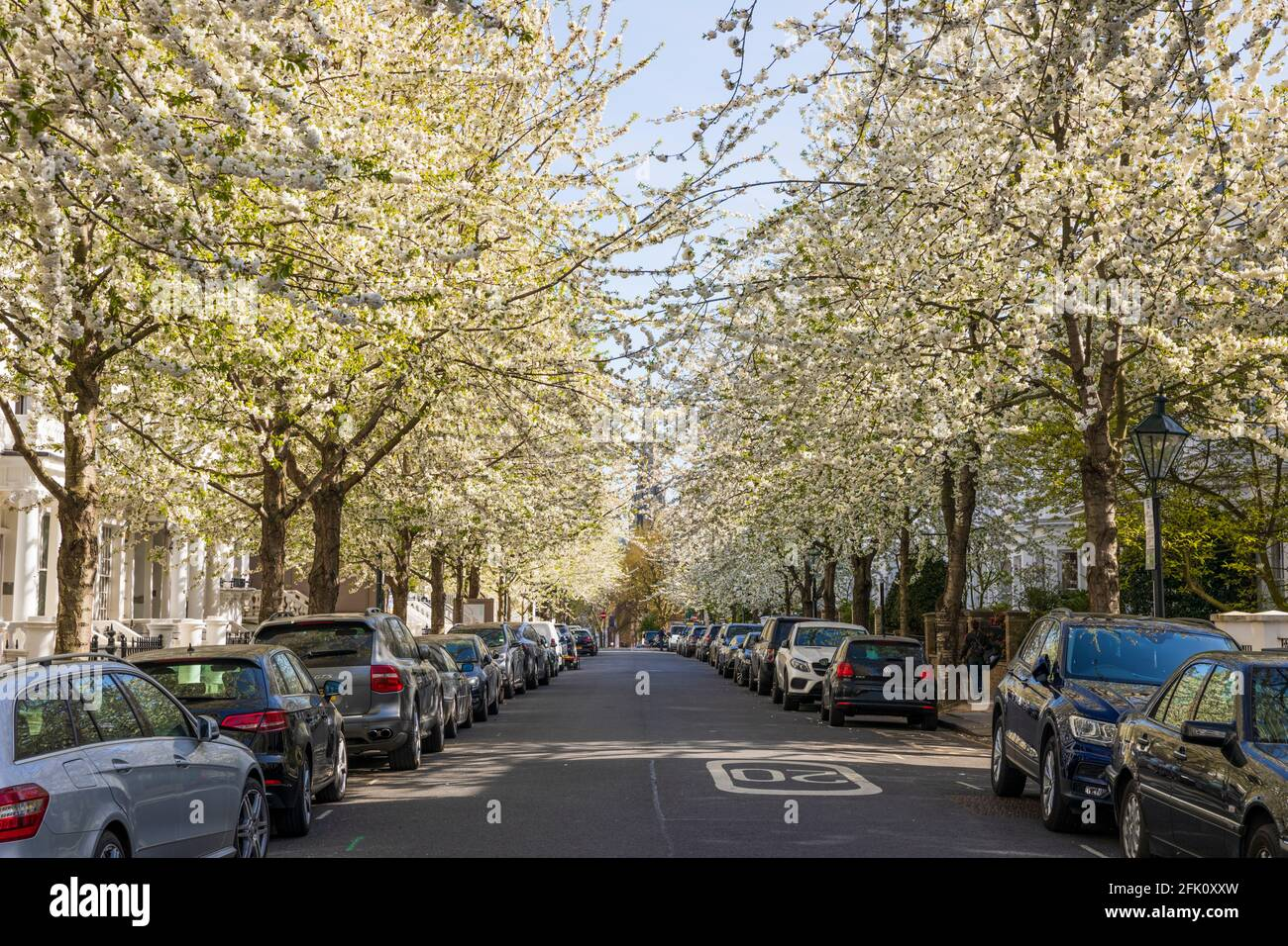 White blossom trees lining the road of Brunswick Gardens W8, London, United Kingdom, Europe Stock Photo