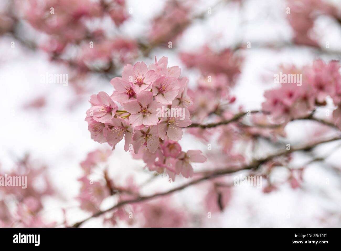 Close up of pink Prunus Sargentii Sargent Cherry blossom flowering in spring in the UK Stock Photo