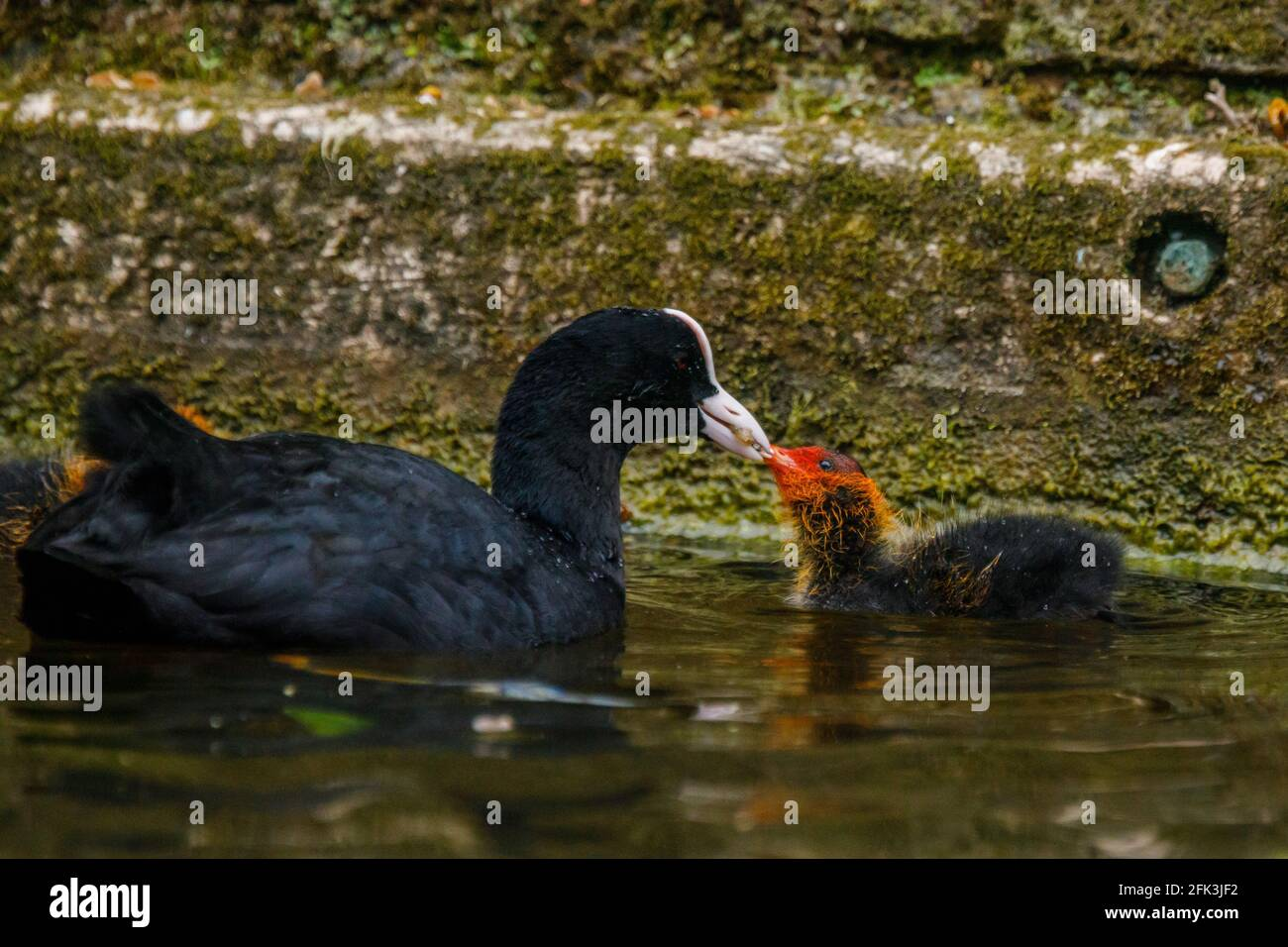 Wapping Canal, London, UK. 28th April 2021. Coot feeding it's baby cootie on an urban canal in Wapping, East London.  Amanda Rose/Alamy Stock Photo