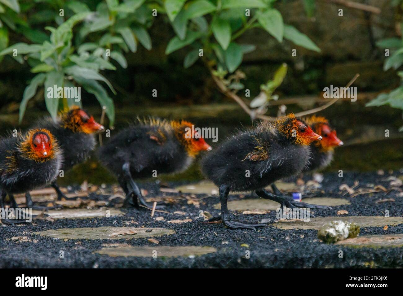 Wapping Canal, London, UK. 28th April 2021. Coot baby cooties on an urban canal in Wapping, East London.  Amanda Rose/Alamy Stock Photo