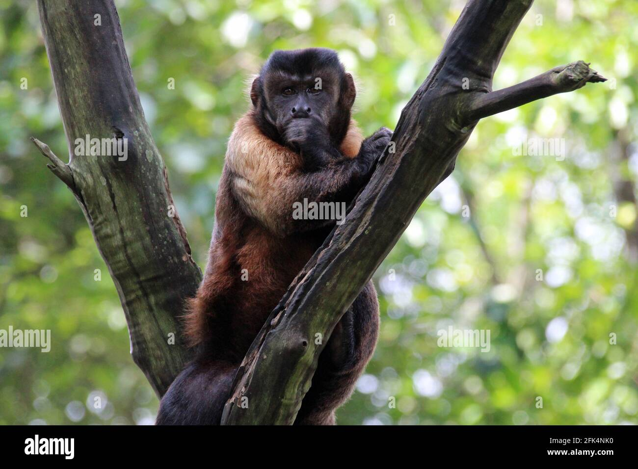 capuchin in a zoo in singapore Stock Photo