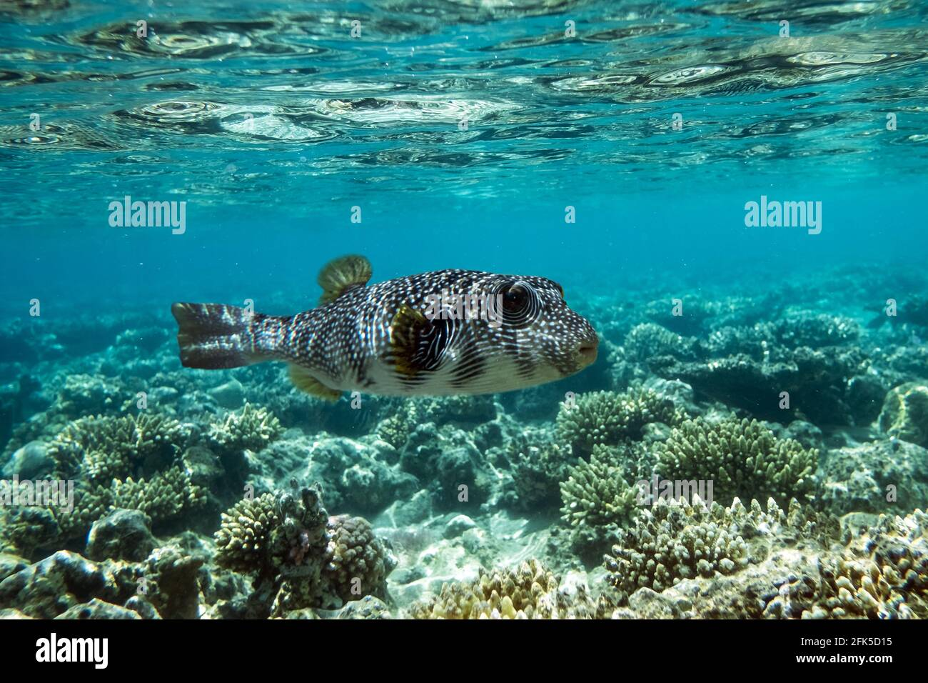 Pufferfish on a coral reef in the Red Sea Stock Photo