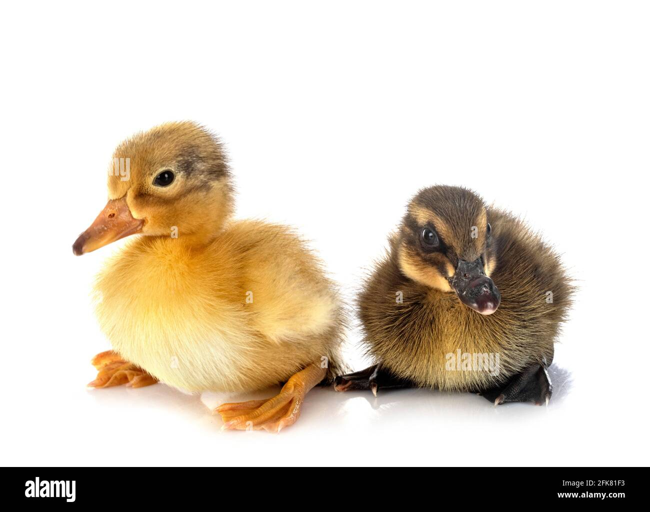 young ducklings in front of white background Stock Photo