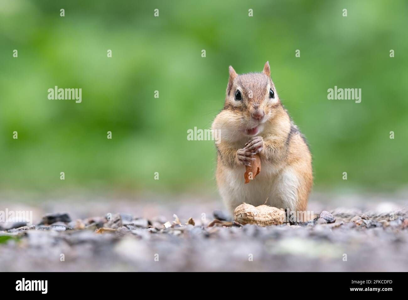 An Eastern Chipmunk stuffs a peanut in its cheek pouches at Lynde Shores Conservation Area in Whitby, Ontario. Stock Photo