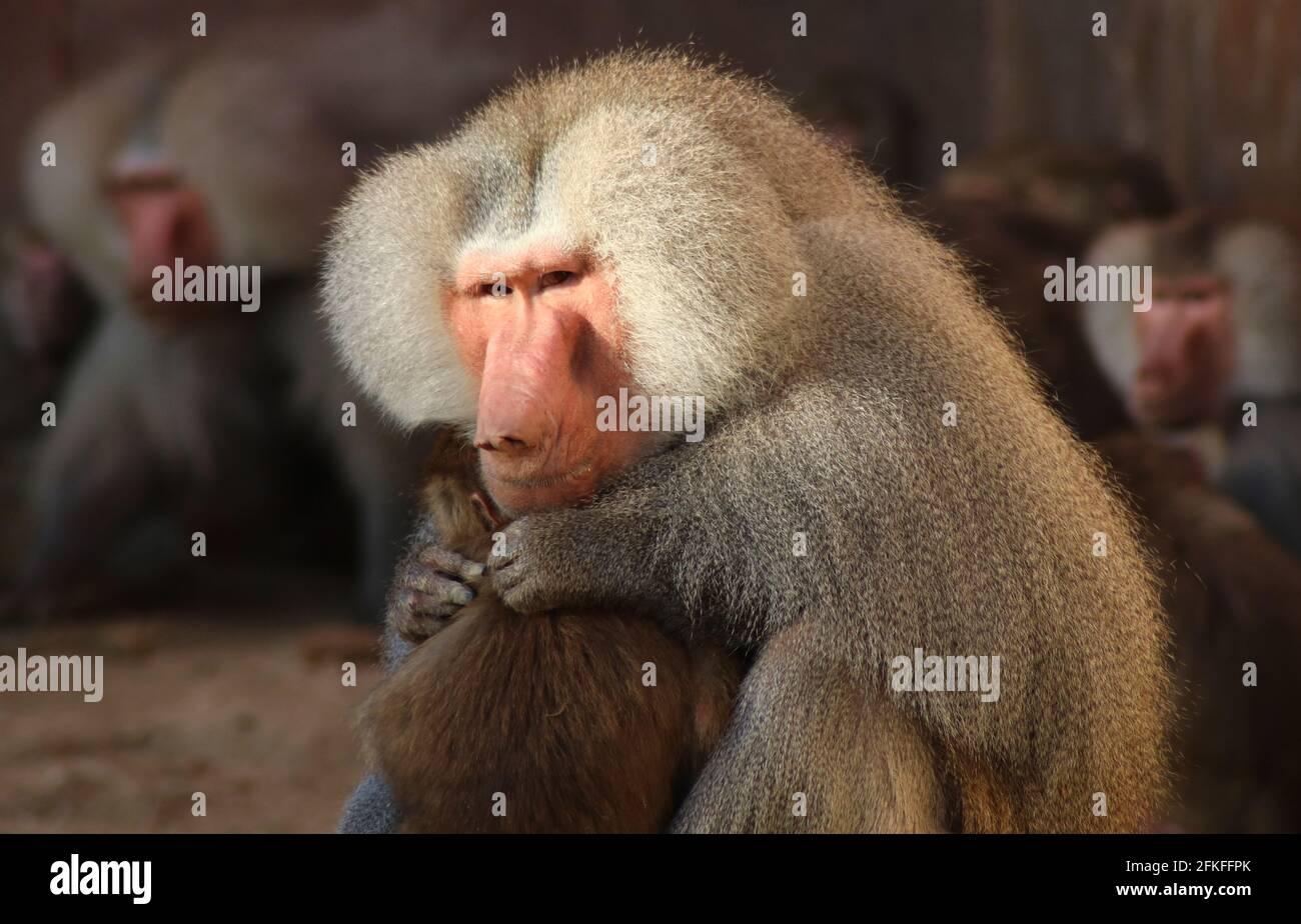 Baboons/ Paviane Stock Photo