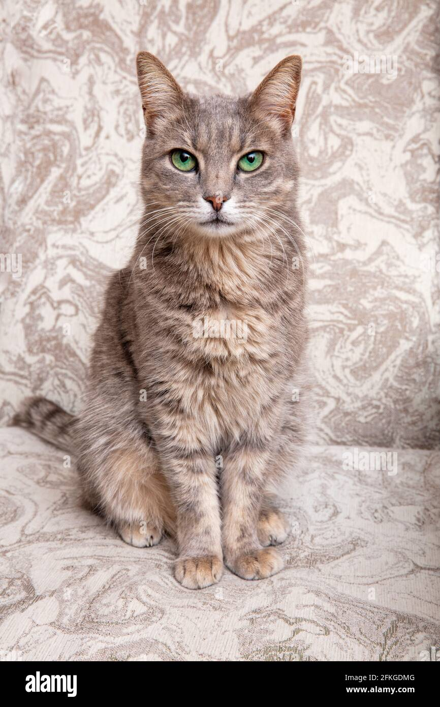 Cute gray cat on a chair. Grace. The breed of cat is Russian blue. Stock Photo