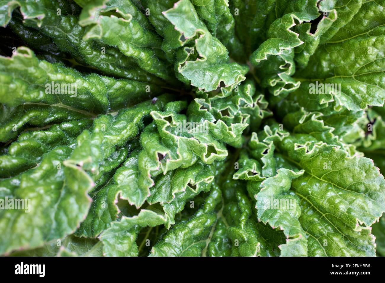 Gunnera tinctoria (Molina) Mirb. (Gunneraceae) also known as Pangue, Nalca (Mapuche voices), or Giant Chilean Rhubarb in closeup Stock Photo
