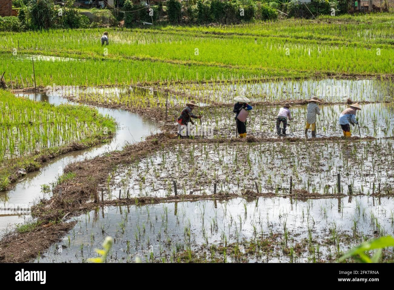 Rice field at Tebedu, Serian, Sarawak, East Malaysia Stock Photo