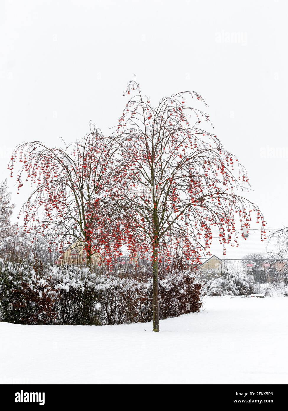 Mountain Ash, Fruits In Winter Stock Photo