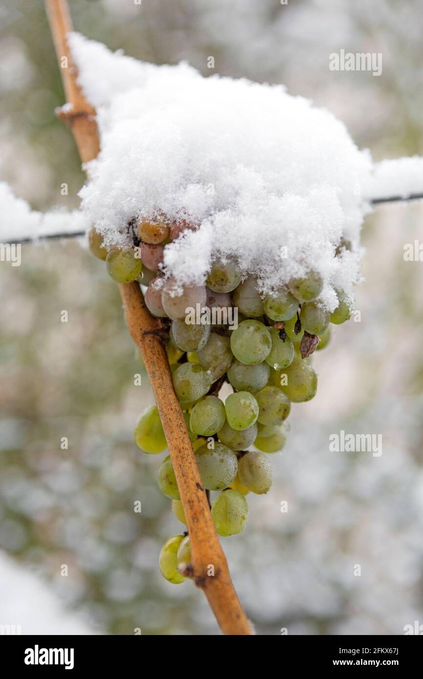 Grapes, Fruits With Snow Stock Photo
