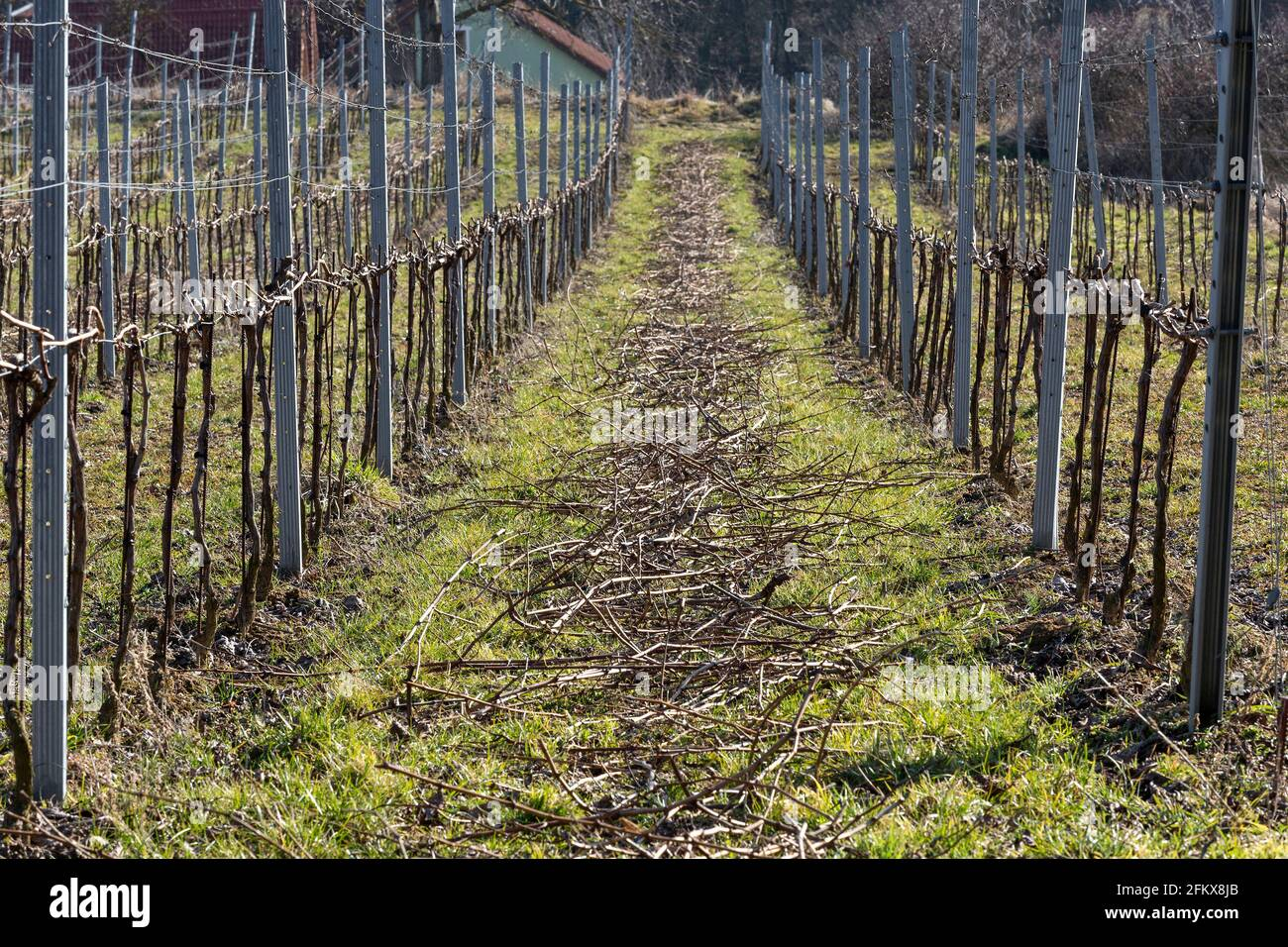 Weingarten After The Pruning Stock Photo