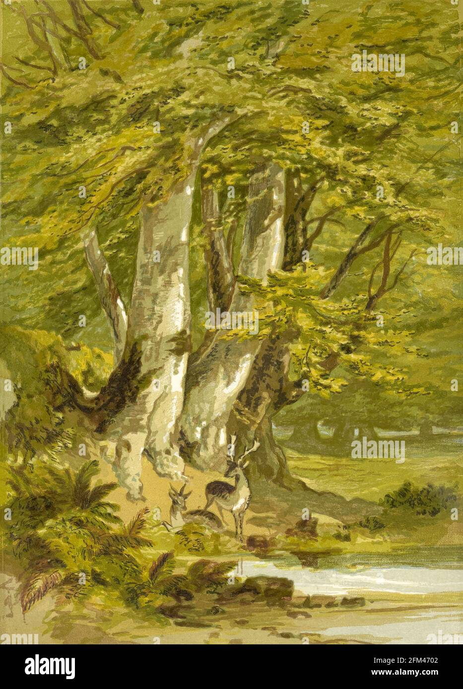 Beech trees from the book  The theory and practice of landscape painting in water-colours illustrated by a series of twenty-six drawings and diagrams in colours and numerous woodcuts by Barnard, George, 1807-1890 Published in 1885 by George Routledge and Sons London Stock Photo