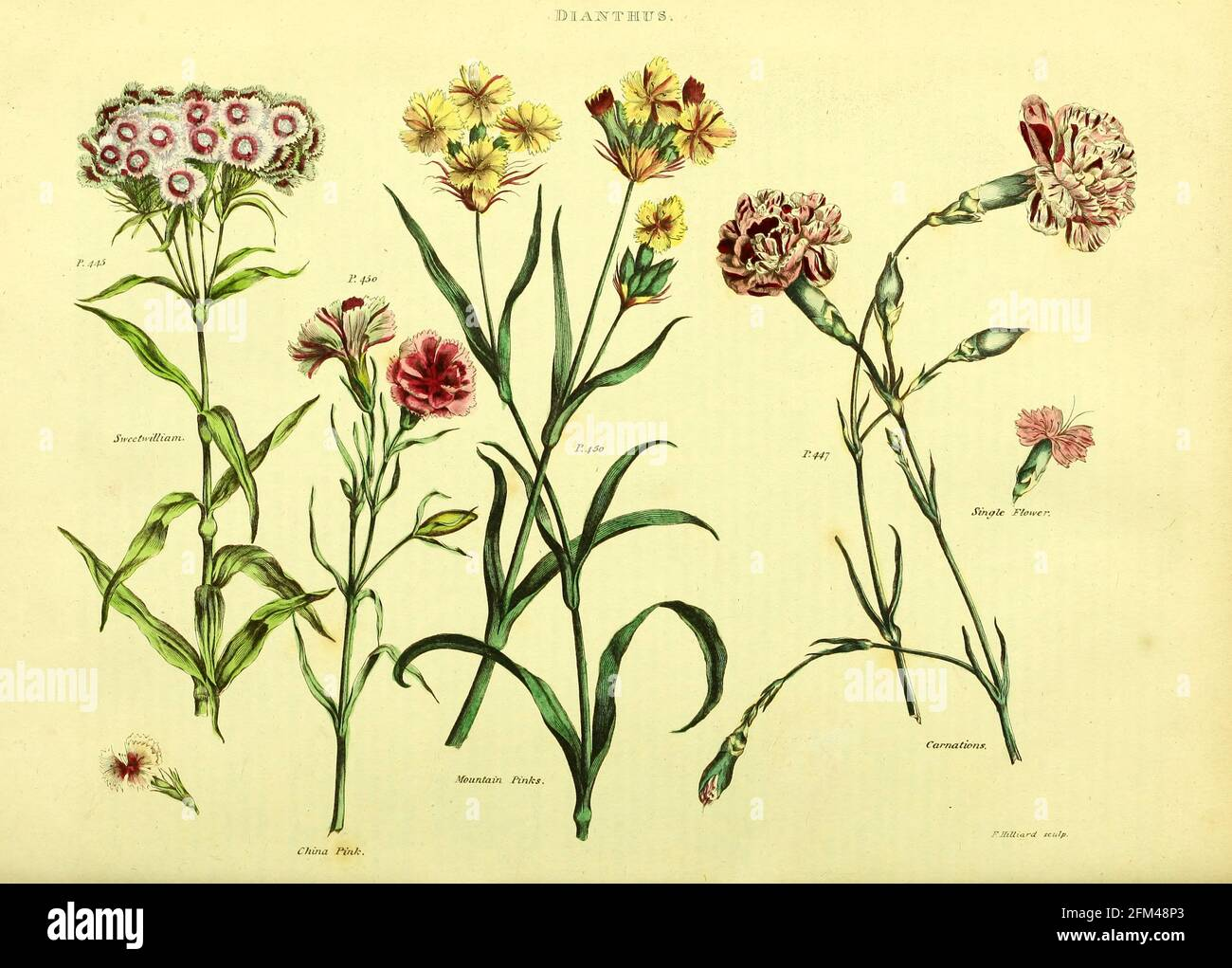 Dianthus (Carnations) from Vol 1 of the book The universal herbal : or botanical, medical and agricultural dictionary : containing an account of all known plants in the world, arranged according to the Linnean system. Specifying the uses to which they are or may be applied By Thomas Green,  Published in 1816 by Nuttall, Fisher & Co. in Liverpool and Printed at the Caxton Press by H. Fisher Stock Photo