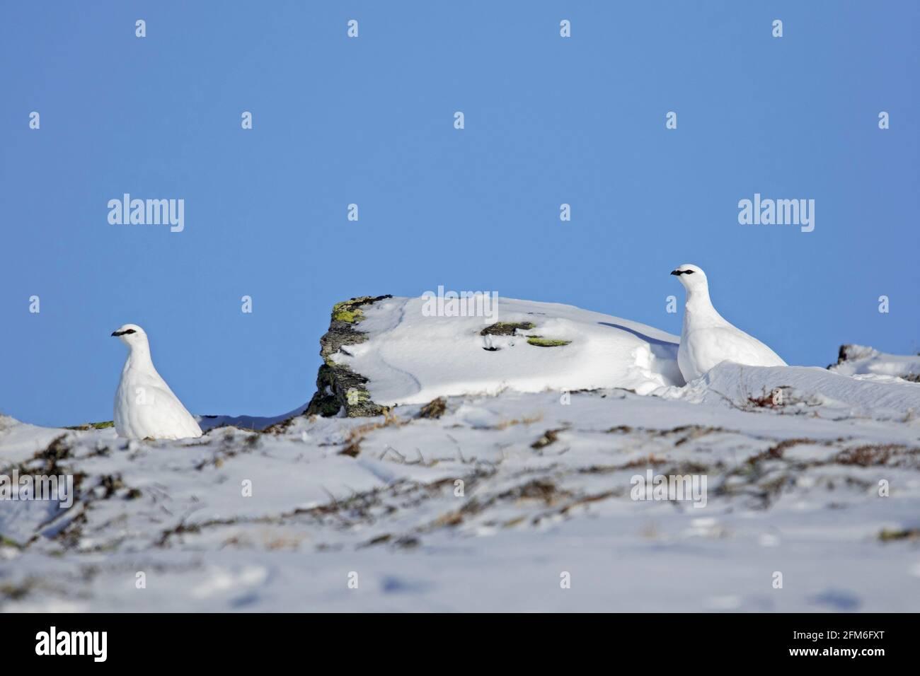 Rock ptarmigan (Lagopus muta / Lagopus mutus) couple in white winter plumage camouflaged in the snow on the tundra Stock Photo