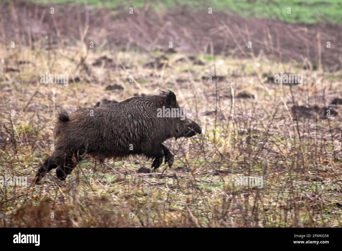 Hunted wild boar (Sus scrofa) running / fleeing over field during battue Stock Photo
