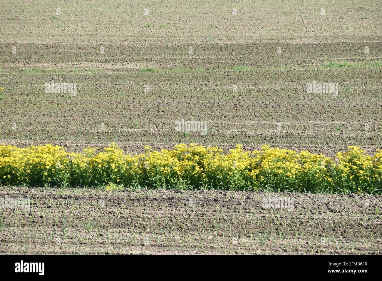 Wildflowers growing in corn field in spring Stock Photo