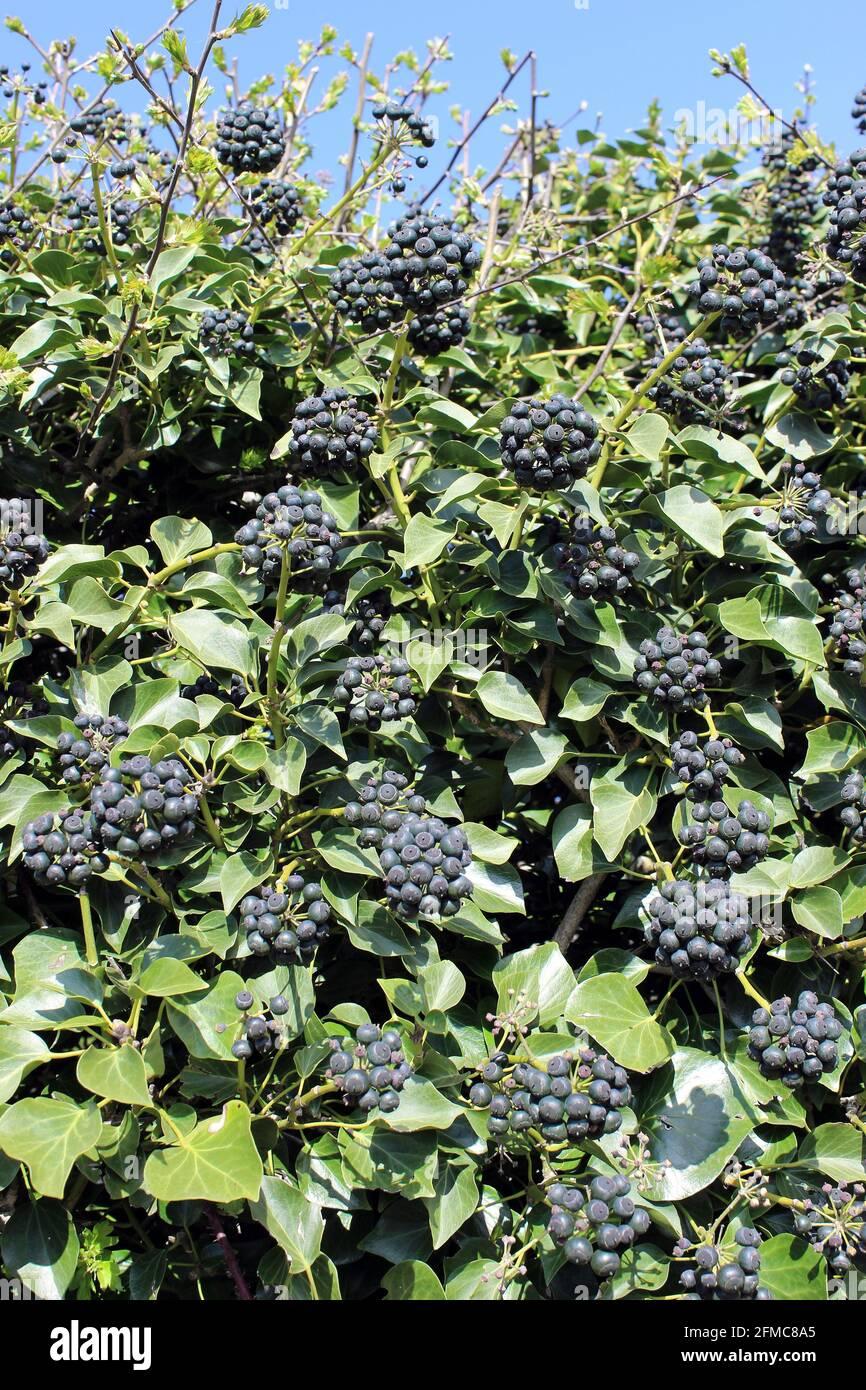 Common Ivy Hedera helix berries/fruit Stock Photo