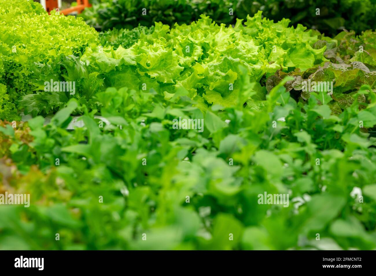 Close-up of green curly endive growing with another sort of greens in greenhouse Stock Photo